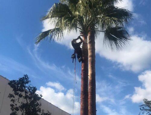 Sfoltite in treeclimbing le palme di Alassio
